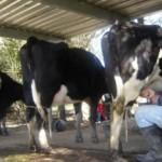 La producción del establecimiento sirve para el autoconsumo. Todas las mañanas ordeñan las vacas en forma manual.
