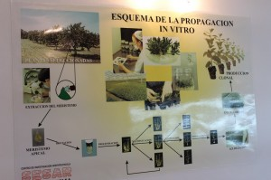 La empresa produce plantines mediante el método de la micropropagación.