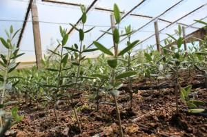 Los nuevos olivos uruguayos ganan terreno en la producción nacional.