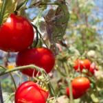 tomates-insecticida-biologico